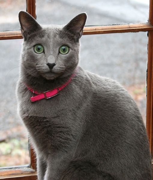 Mom.com : 10 Russian Blue Cat Facts -- THIS IS A NATURALLY