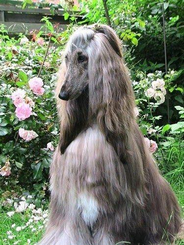 The Half Up Princess Knot Afghan Hound Hound Dog Breeds Hound Dog