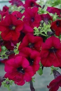 Petunia Surfinia Burgundy Petunia Plant Amazing Flowers