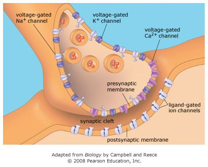 Diagram of a chemical synapse showing voltage-gated Ca2 ...