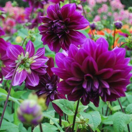 Dahlia Thomas A Edison Purple Perennials Dahlia Flowers Photography