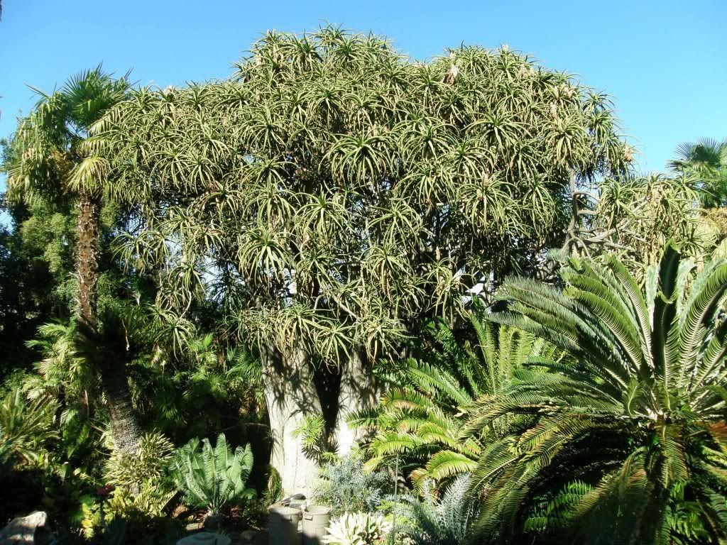 Aloe barberae (if you've got the room)