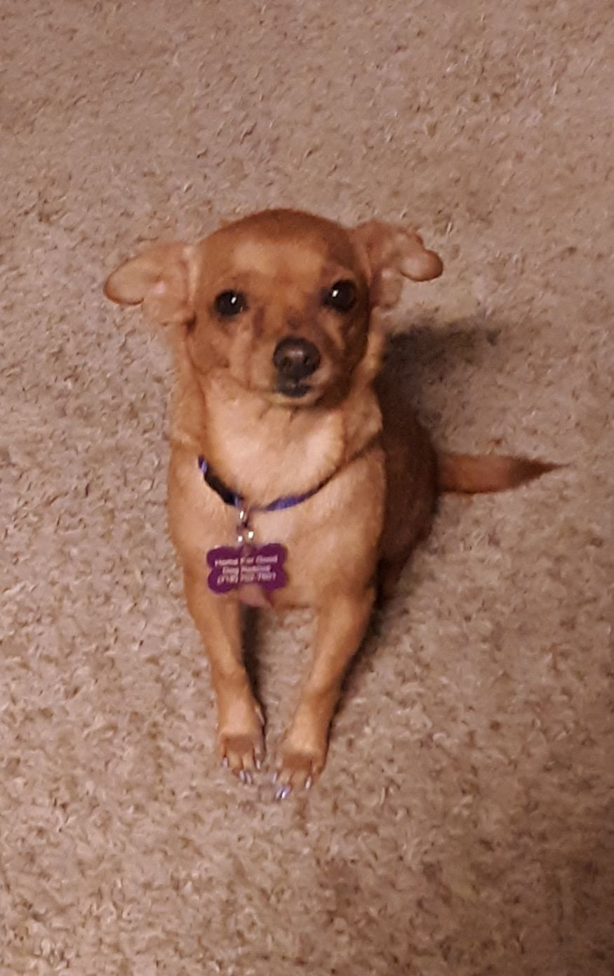 Adopt Billie On Chihuahua Cute Animals Rescue Dogs