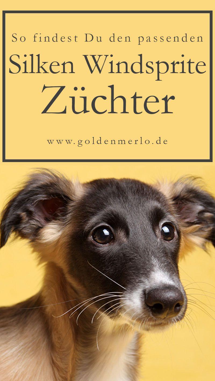 So Findest Du Den Passenden Silken Windsprite Zuchter Silkenwindsprite Windsprite Windhund Sighthound Hund Hunderasse W Hunderassen Hunde Rassen Hunde