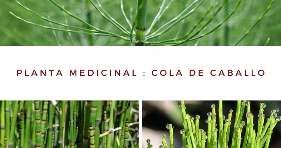 Cola De Caballo Todo Lo Que Debes Saber Sobre Esta Planta Medicinal En 2021 Plantas Medicinales Plantas Cola De Caballo