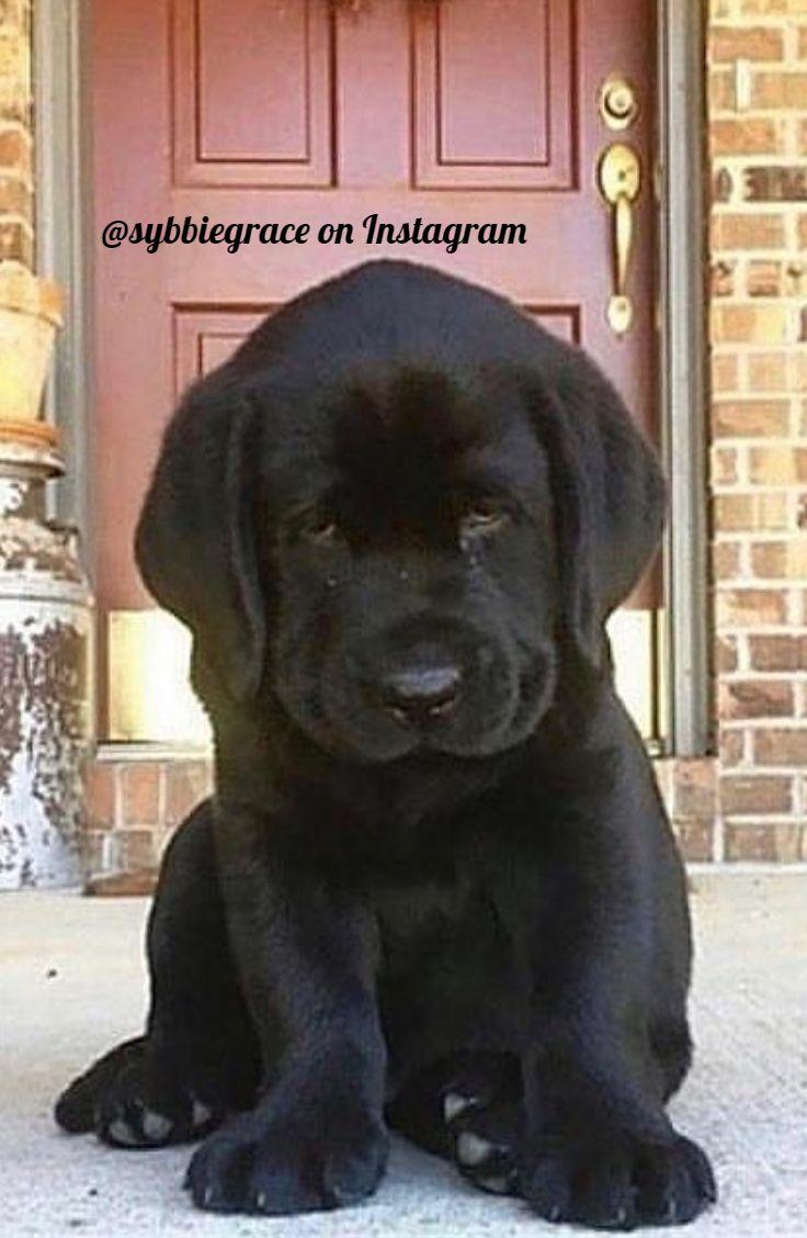 Photo of Black Labrador Puppy 🐾💖 | via @sybbiegrace on Instagram