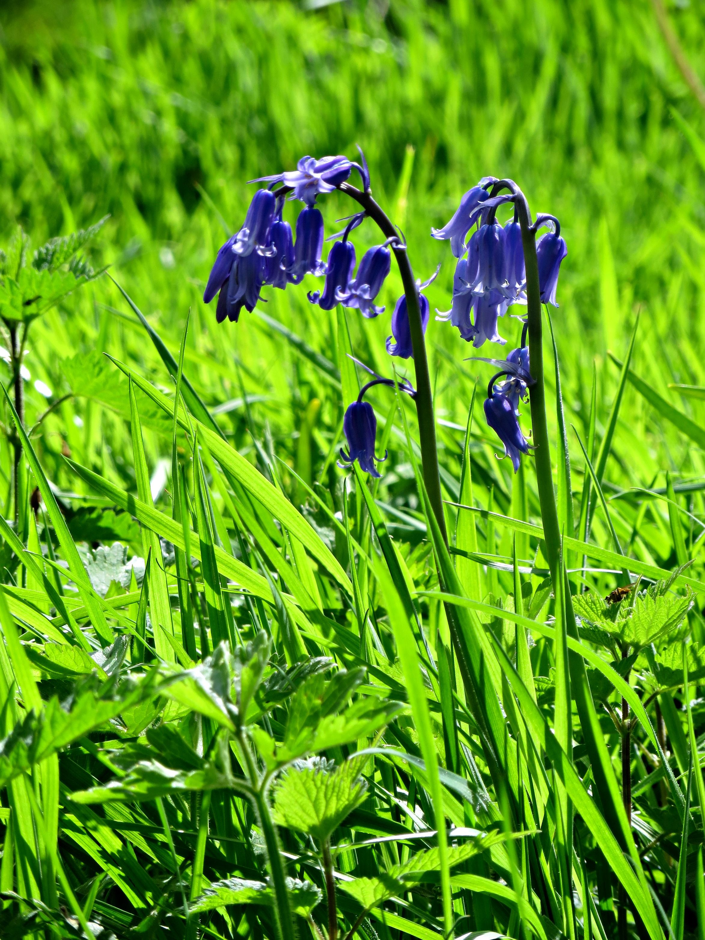 Bluebells near Heapey, Chorley. Plants, Photography