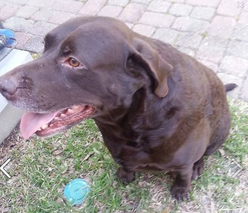 Found This Large Male Chocolate Lab In The 3800 Block Of Jena Street And Need To Find His Owner No Collar Very Sweet And Res Found Dogs Eastbank Dogs