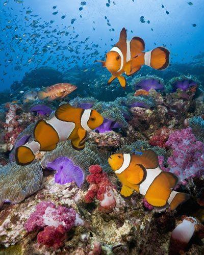 Everything Nature Clown Fish Saltwater Aquarium Fish Saltwater Fish Tanks
