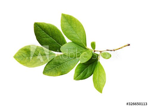 Stock Image: Green leaves of blueberry