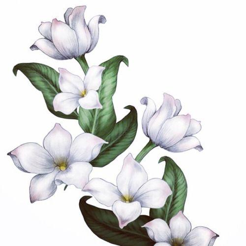 Jasmine Flower Drawings Gallery Con Imagenes Tatuaje De Jazmin
