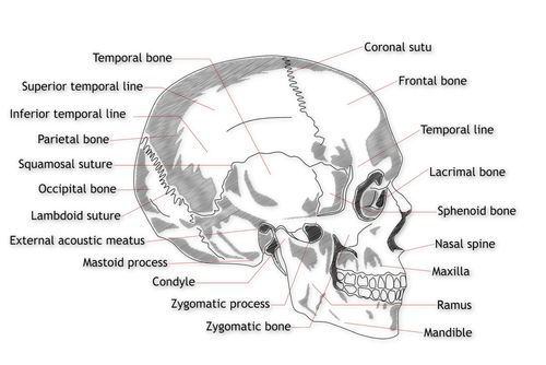 Labelled side view of the human skull school stuff pinterest labelled side view of the human skull ccuart Gallery