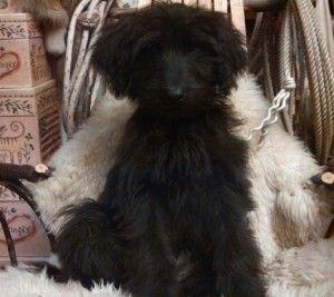 Shepadoodle Puppies For Sale German Shepherd Standard Poodle