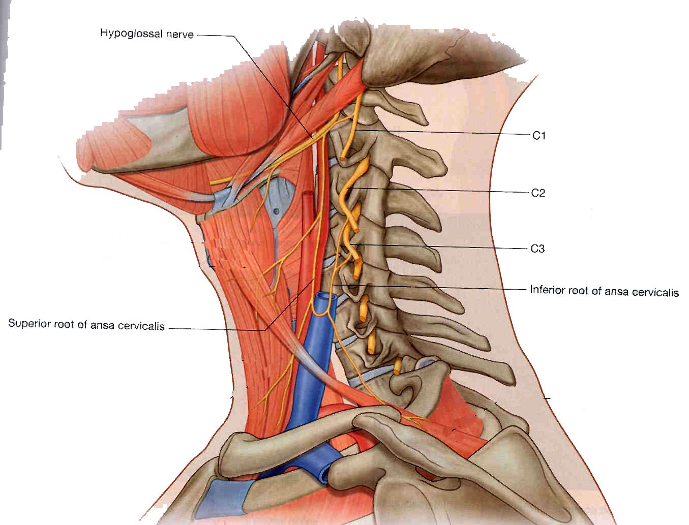 Ansa cervicalis (C1-3). Innervates the sternohyoid, sternothyroid ...