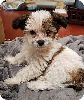 San Diego Ca Shih Tzu Yorkie Yorkshire Terrier Mix Meet
