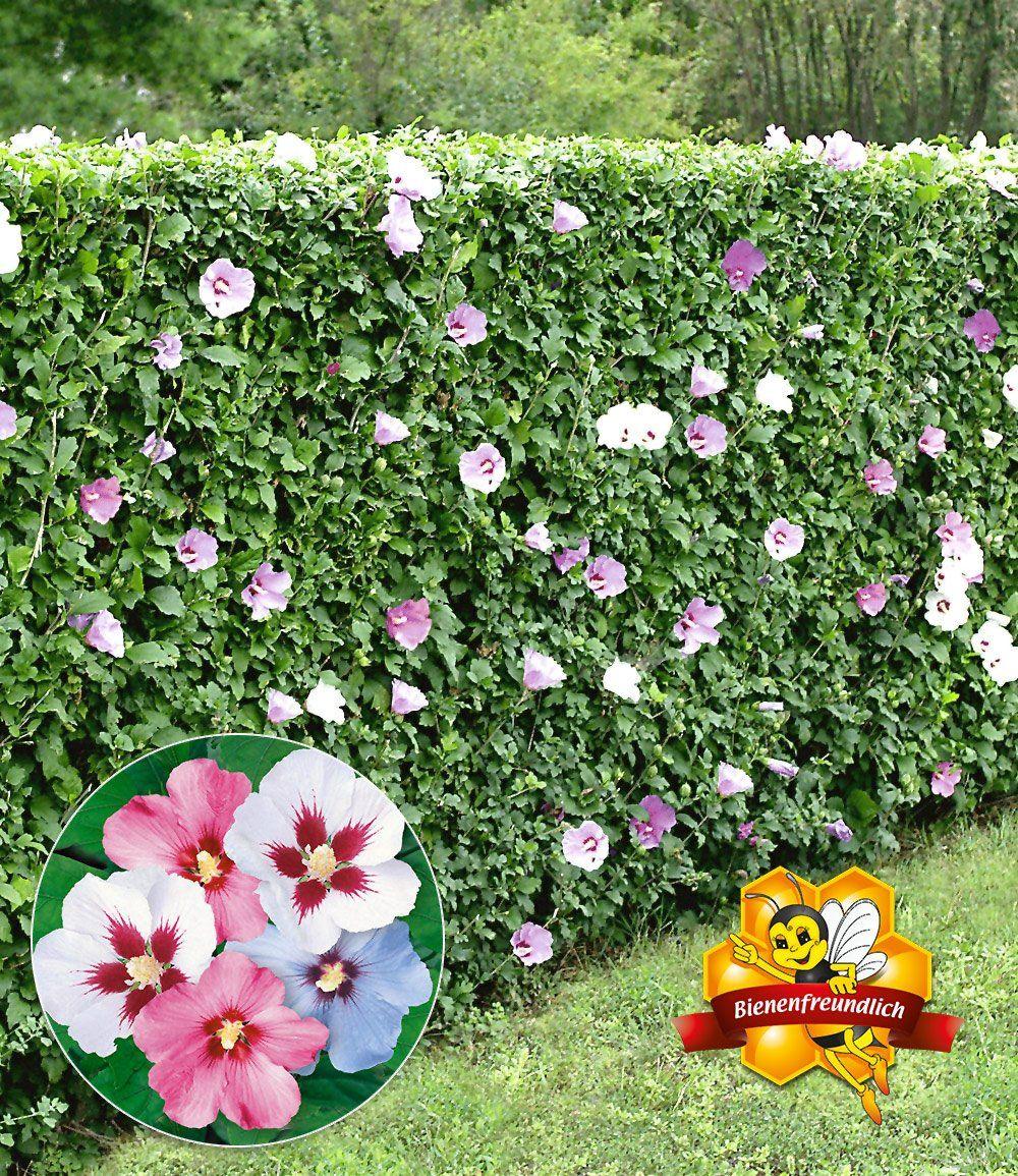 hibiskus hecke garage pinterest garden plants und hedges. Black Bedroom Furniture Sets. Home Design Ideas