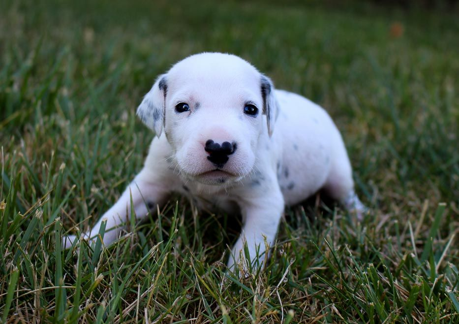 Champ Doggie Akc Dalmatian For Sale At Woodburn Indiana In 2020