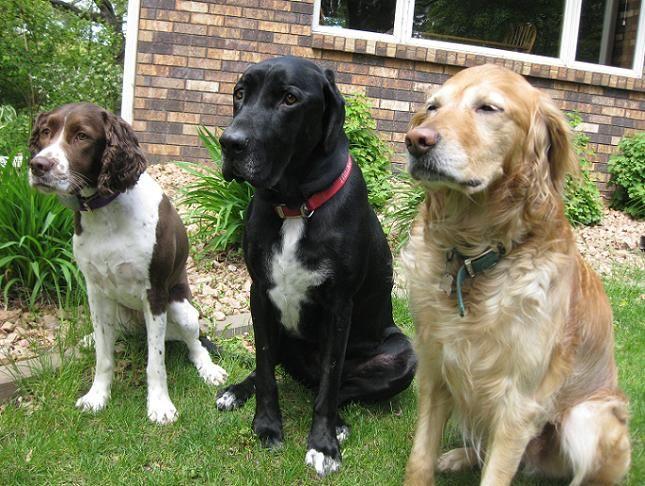 Golden Retriever Springer Spaniel Mix | Puppies | Dogs