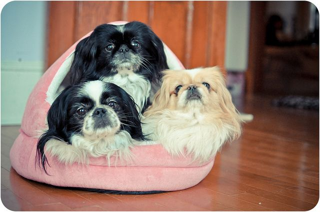 3 little pekingese