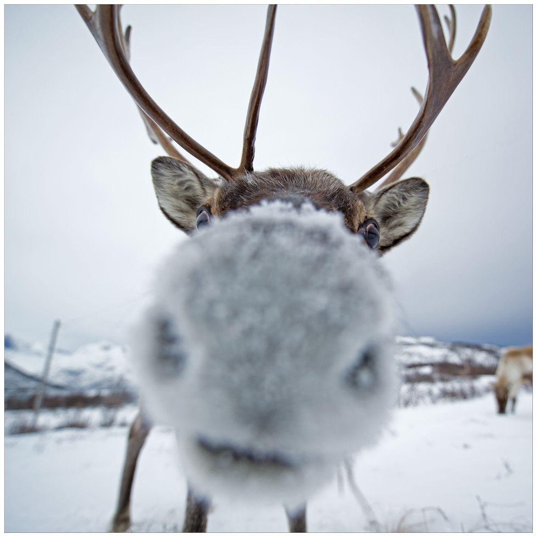 reindeer elche hirsche rehe pinterest tiere s e. Black Bedroom Furniture Sets. Home Design Ideas
