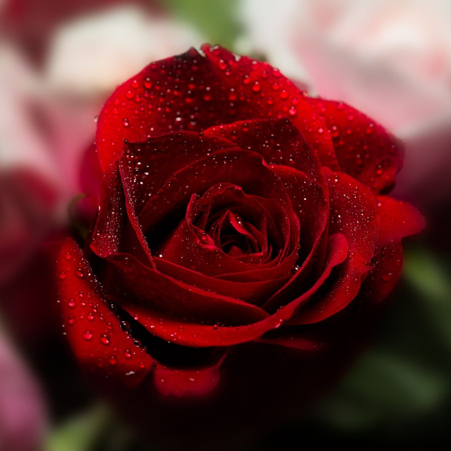 Red rose from 500px colour pinterest flowers beautiful red rose from 500px pretty flowersbeautiful izmirmasajfo
