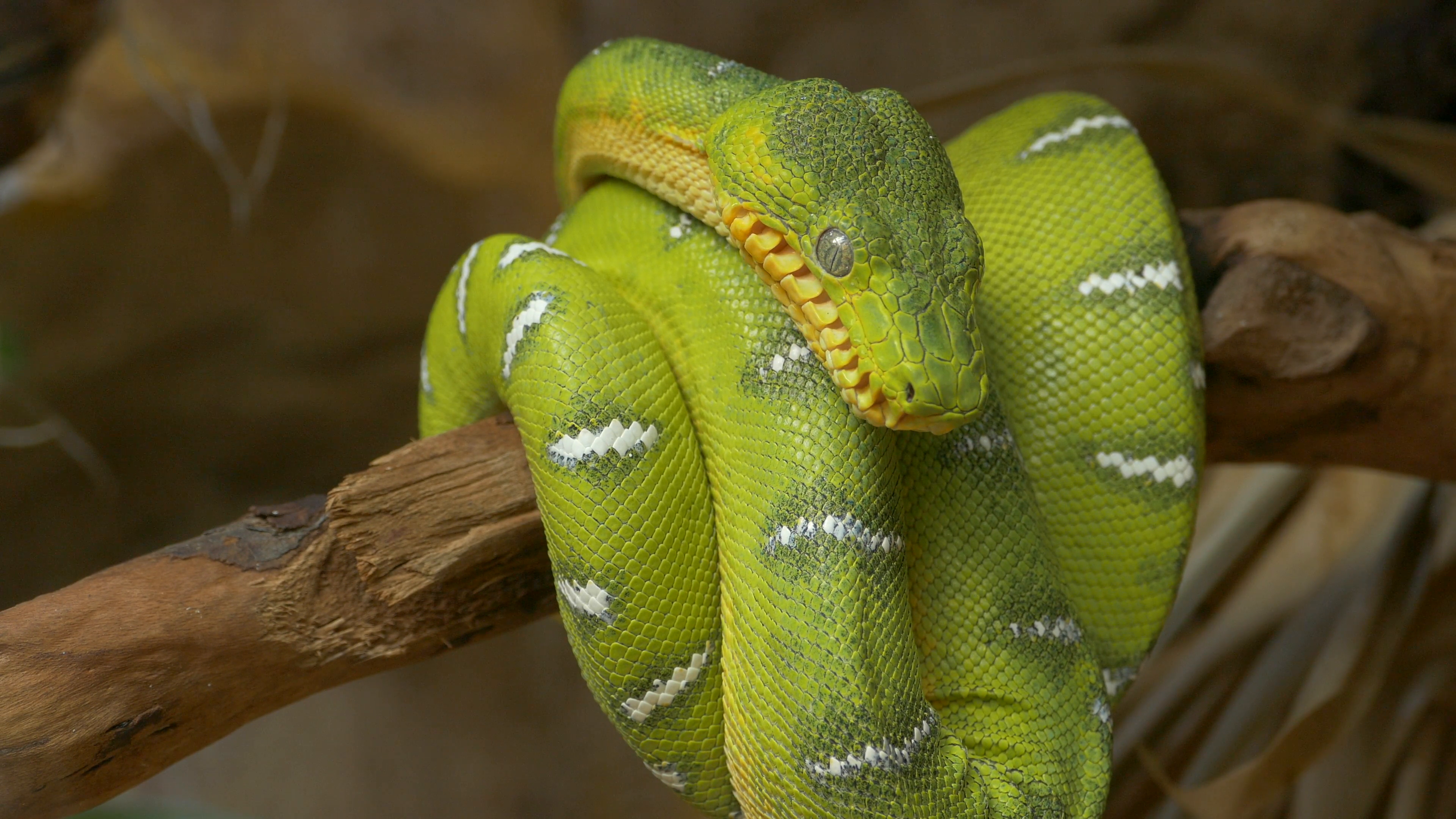 emerald-tree-boa-corallus-caninus-coiled-around-a-branch_vjvwazif__ ...
