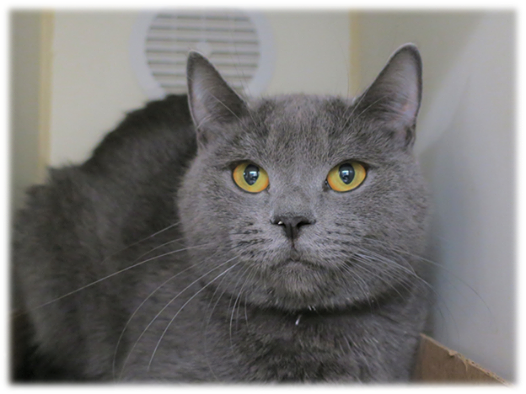 Rigby is a 2yearold female blue domestic short haired