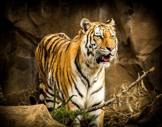 SIBERIAN AMUR TIGER big cat tiger by TrauflerPhotography on Etsy