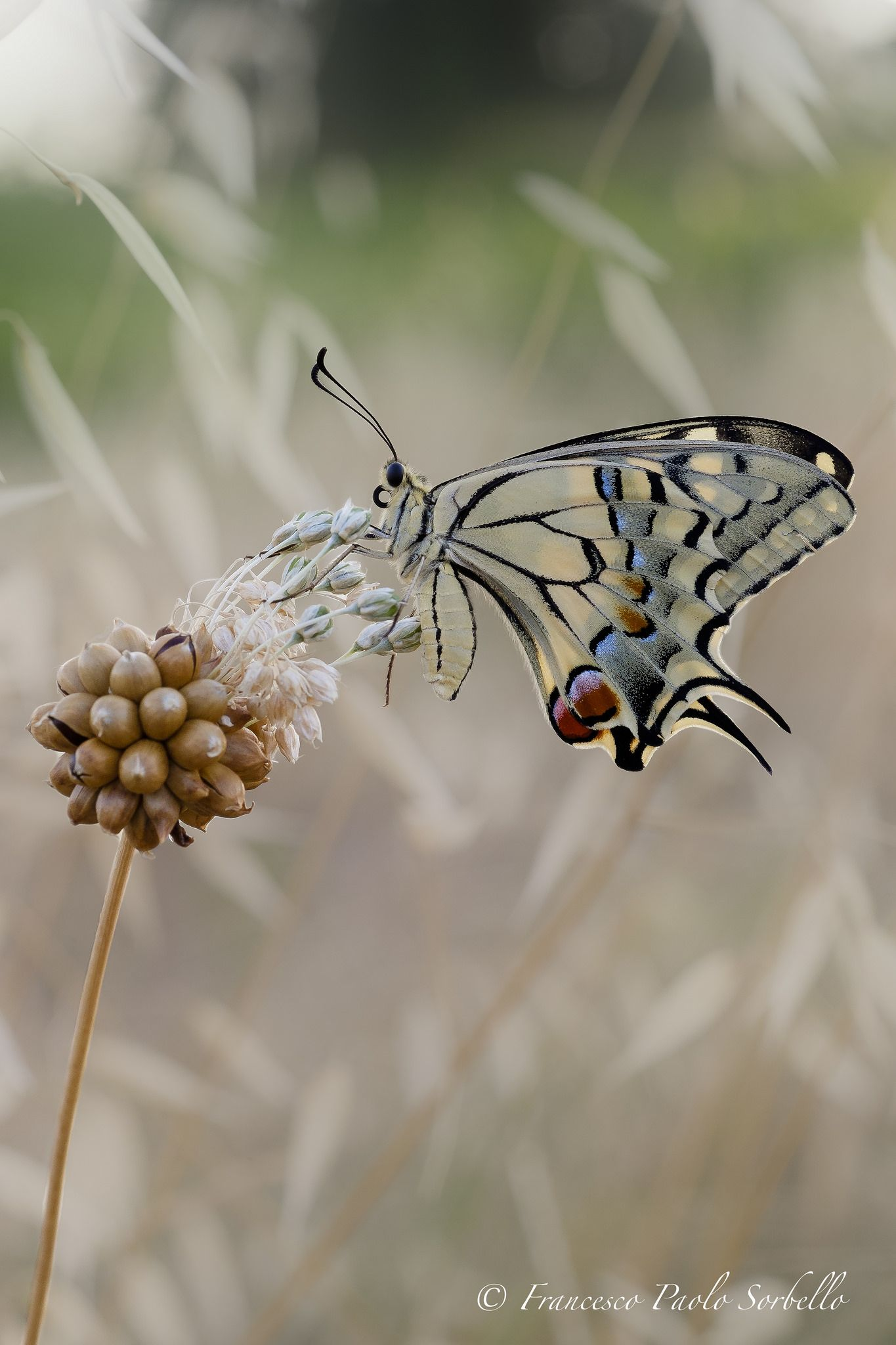 Papilio machaon by Francesco Paolo Sorbello**
