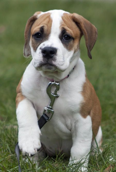 Jovie The Bulldog Mix Bulldog Small Puppies Cute Animal Pictures
