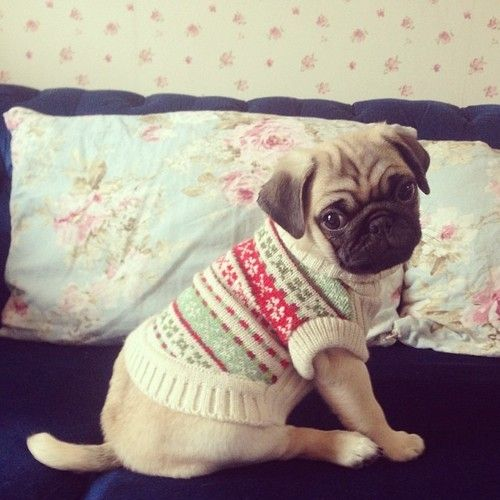 #pug #puppy in a sweater! adorable!