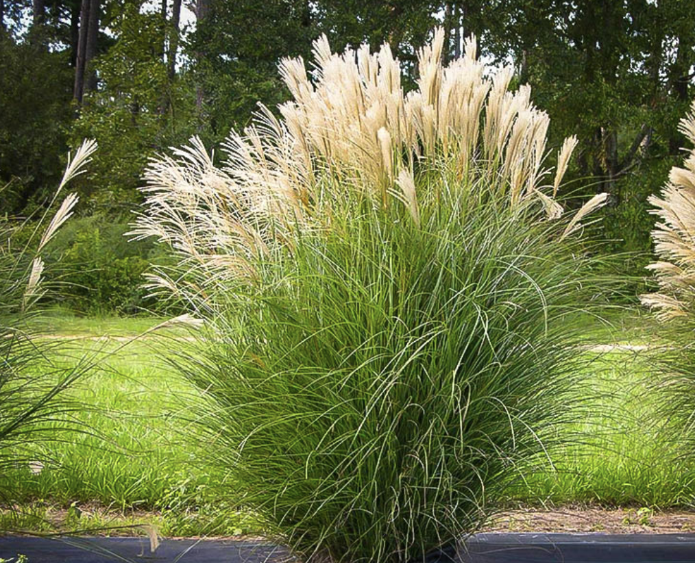 Maiden Grass Ornamental Grasses Grasses Landscaping Landscape Design