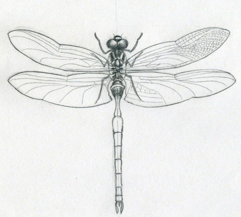 Dragonfly Anatomy Diagram To Draw Easy Circuit Wiring And Diagram