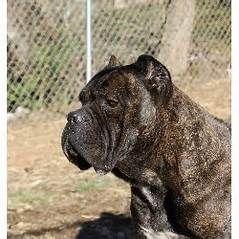 Bellissima Cane Corsos Cane Corso Breeder Tennessee Cane Corso Puppies Available Cane Corsos Cane Corso Dog Corso Dog Cane Corso