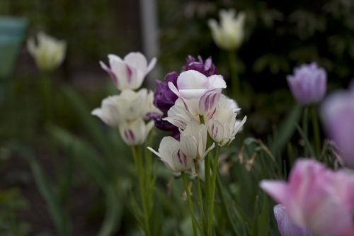 planted 500 tulips - cant wait for spring to come