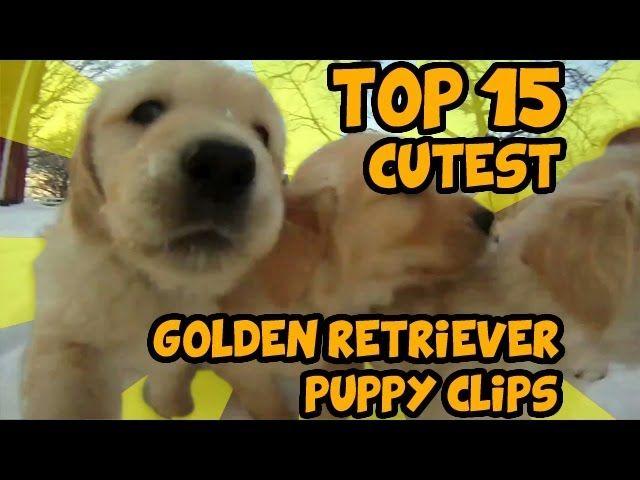 Pin By Joann Mcroy On K9 Golden Retriever Puppy Golden