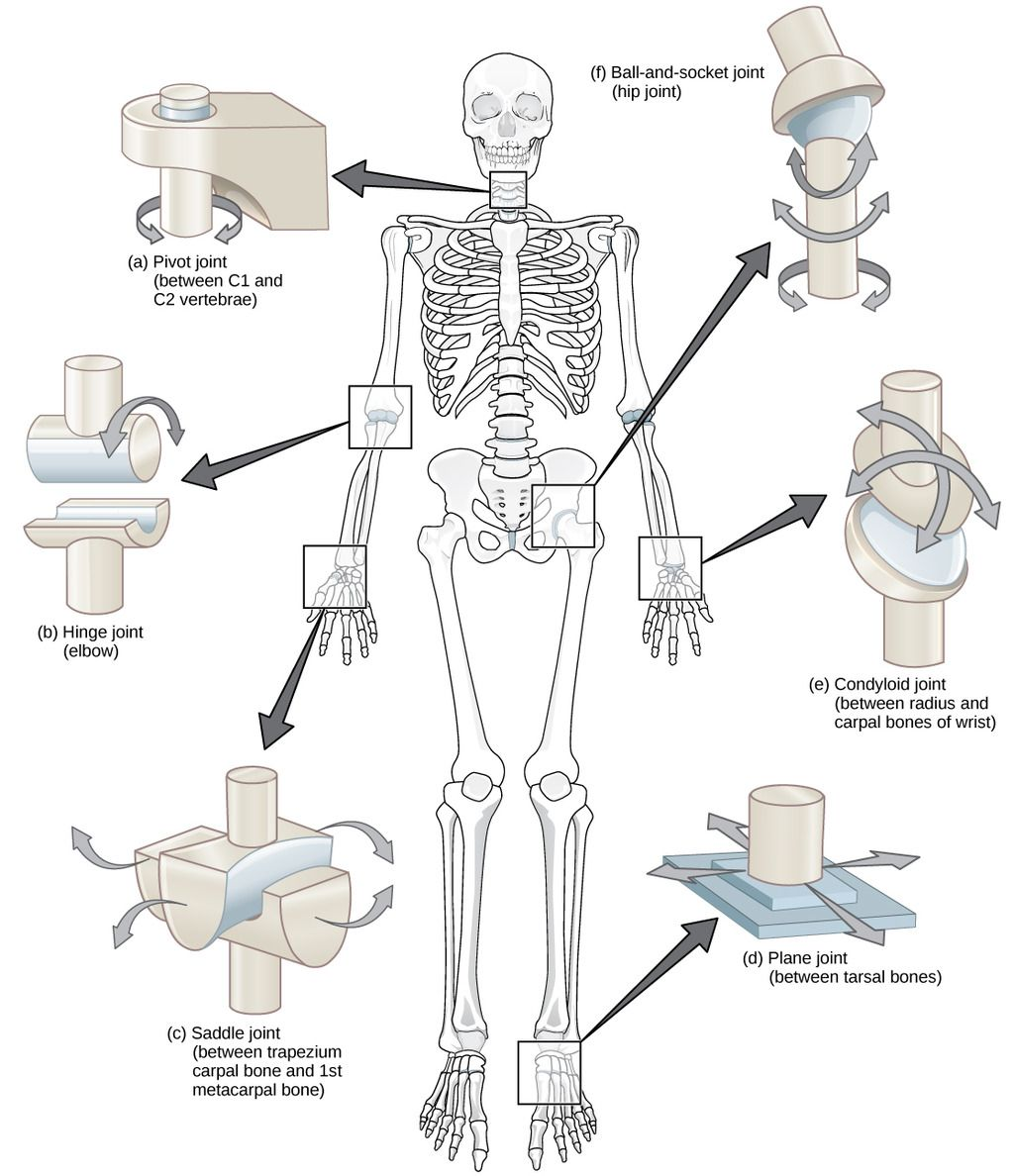 Types of synovial joints bio pinterest synovial joint anatomy types of synovial joints ccuart Images