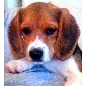 Beagle hound photo | Bo, Beagle - Dog Photo Gallery