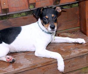 Petfinder Adoptable Dog Rat Terrier Virginia Beach Va Willie Rat Terrier Dogs Rat Terriers Dog Adoption