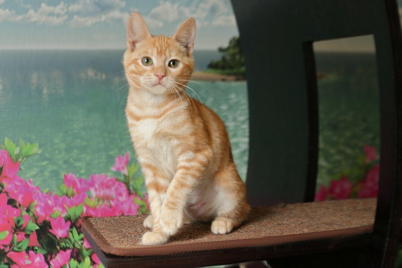 Scarlet Kitten Adoption Cat Adoption Cat Years