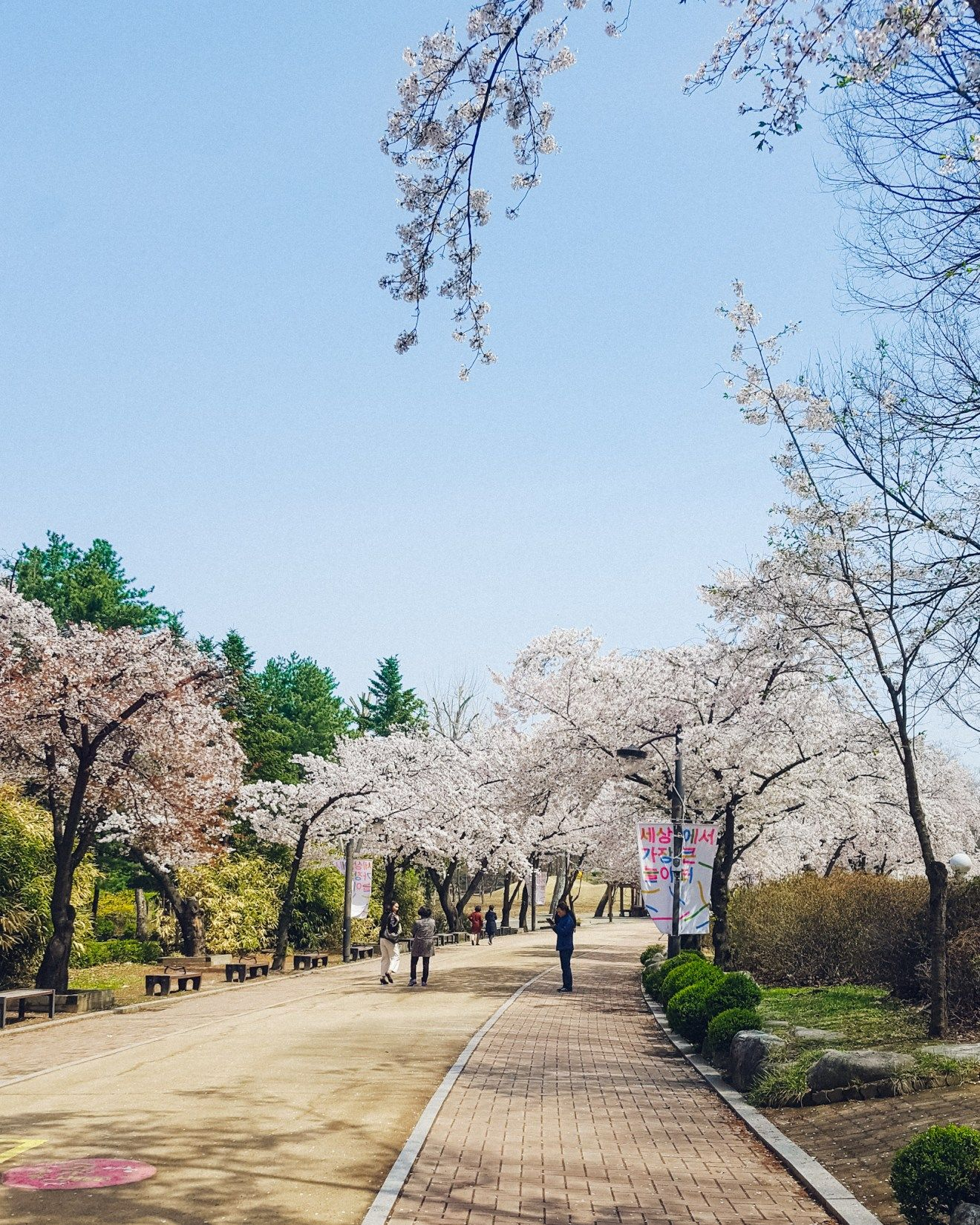 Best Places To See Cherry Blossoms In Korea A Finn On The Loose Cherry Blossom Places To See Blossom Trees