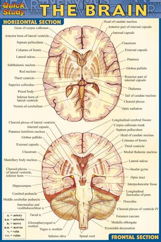 Horizontal View Of Brain