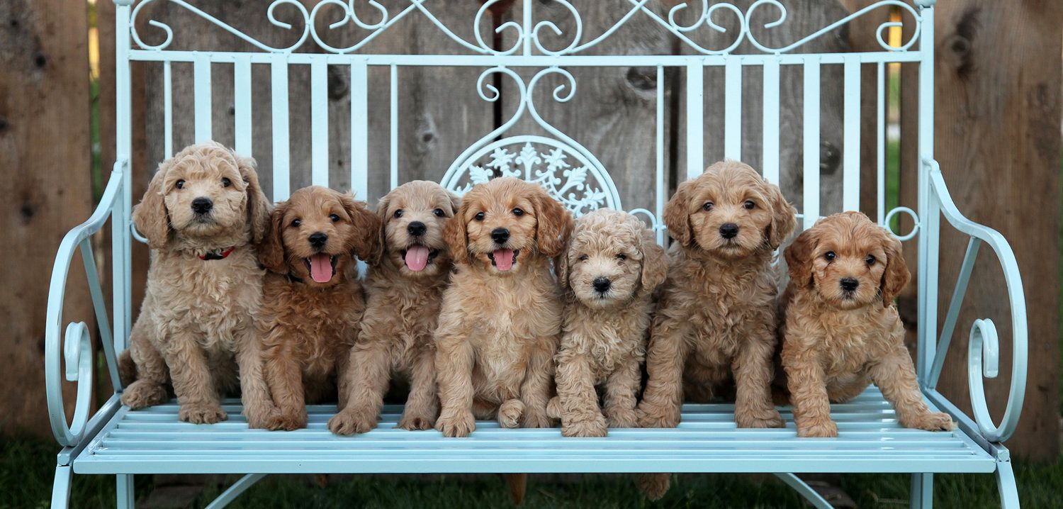 Therapydogs Goldendoodle Puppies Are Naturally Gifted At