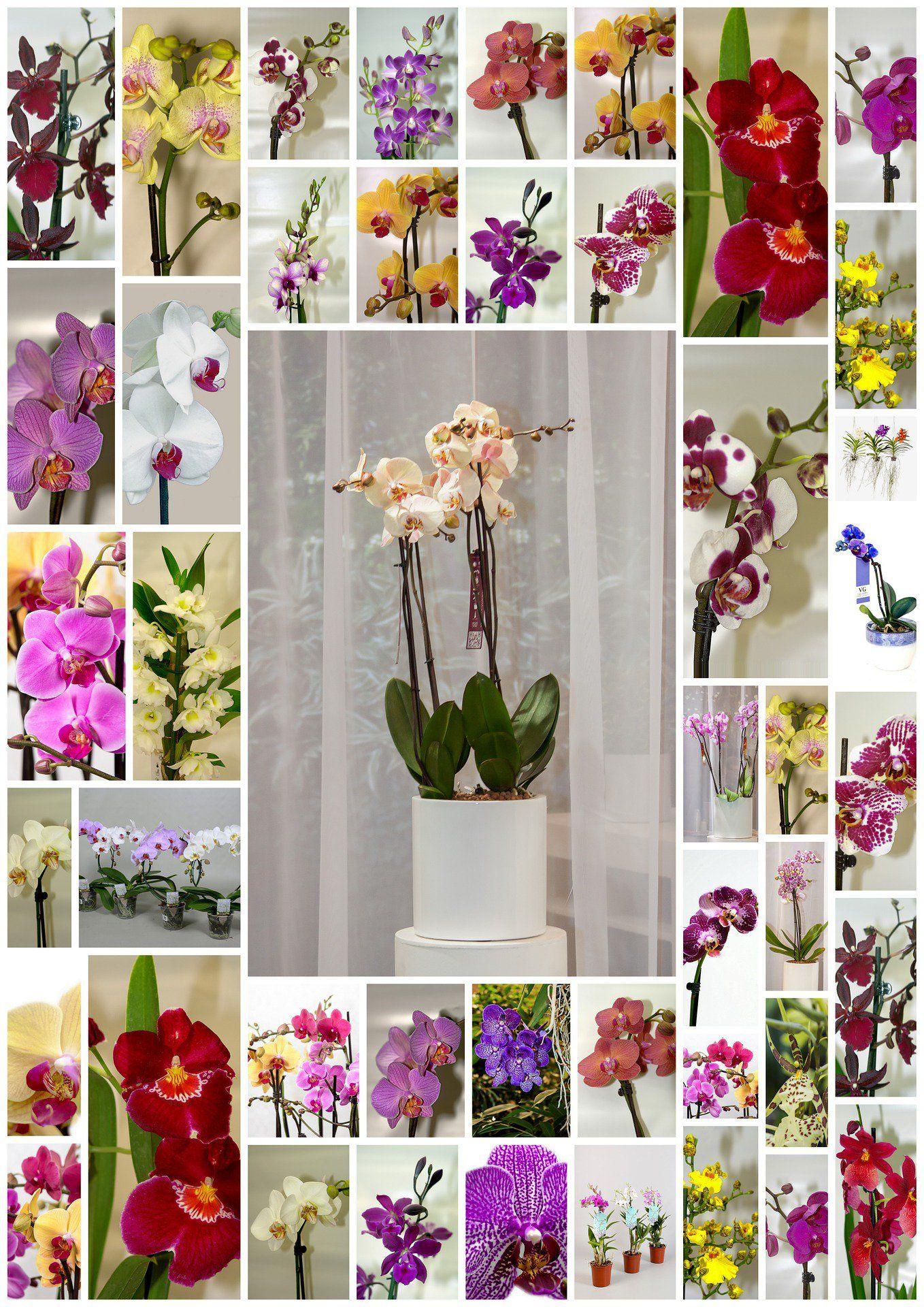 Phalaenopsis orchids care how to plant grow u grow stepbystep