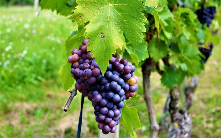 Download Wallpapers Grapes Fruit Bunch Of Grapes A Vineyard Besthqwallpapers Com Raisins Raisin Photographie De Fruit