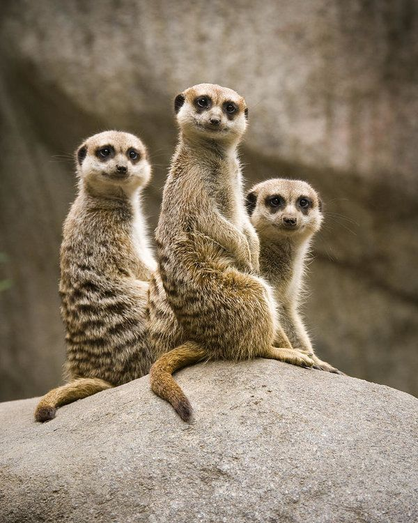 Three Meerkats Poster by Chad Davis
