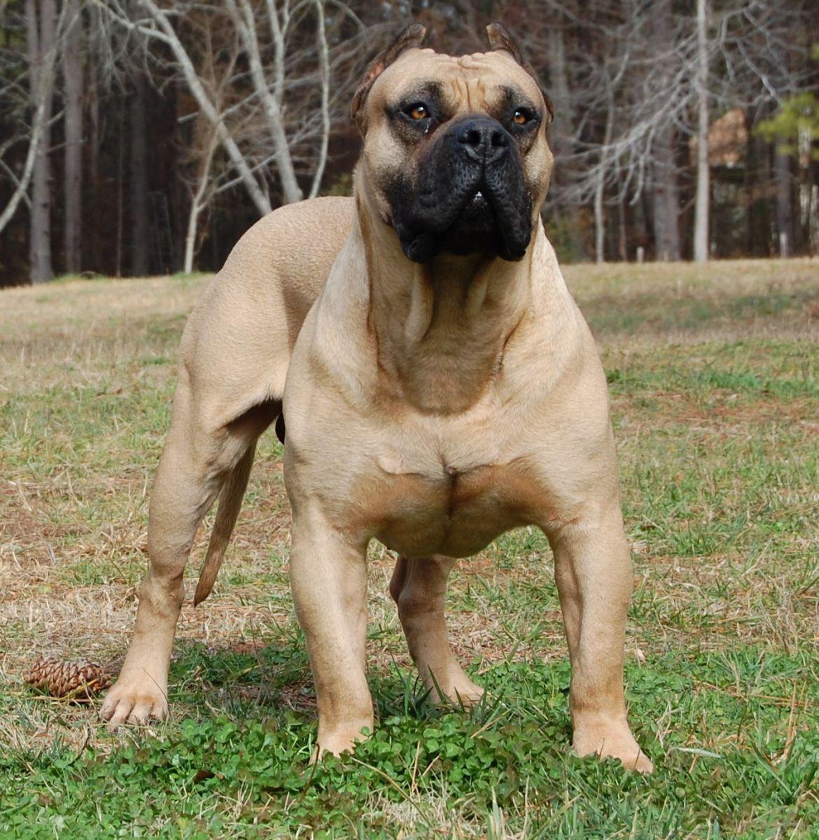 South African Boerboel Dog Breeds Dog Breeds Pictures South