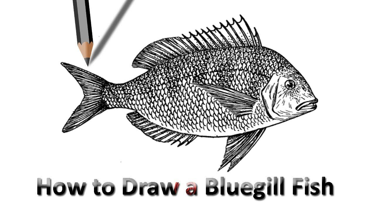 How To Draw A Bluegill Fish Drawings Farm Paintings