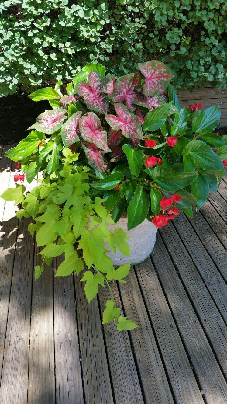 Caladium with dragon wing begonias and yellow ipomea