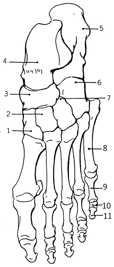 Color The Bones Of The Foot